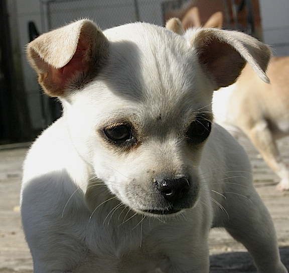 Happy Trail's Blizzard, female Chihuahua
